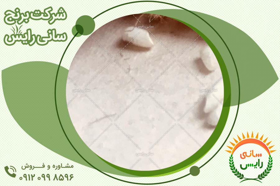 کیفیت برنج عنبربو امامی