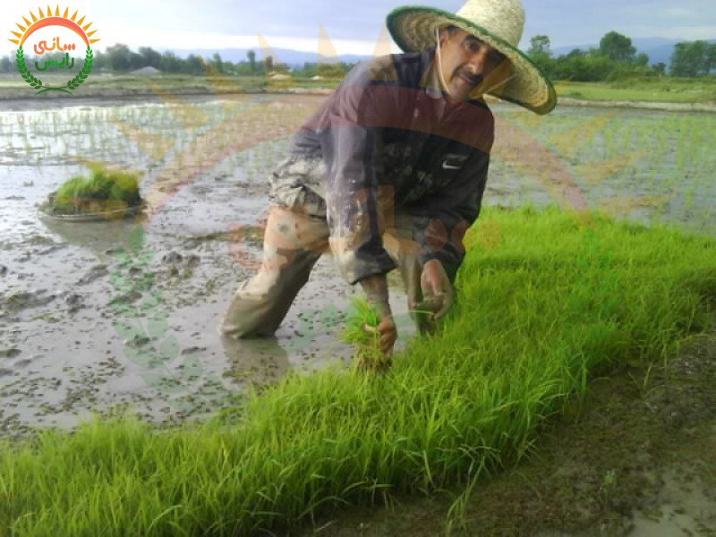 فروش برنج عنبربو اهواز