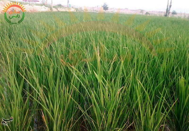 فروش برنج عنبر بو در مشهد